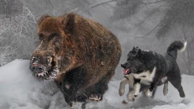 Lov prasete v Rusku 2014