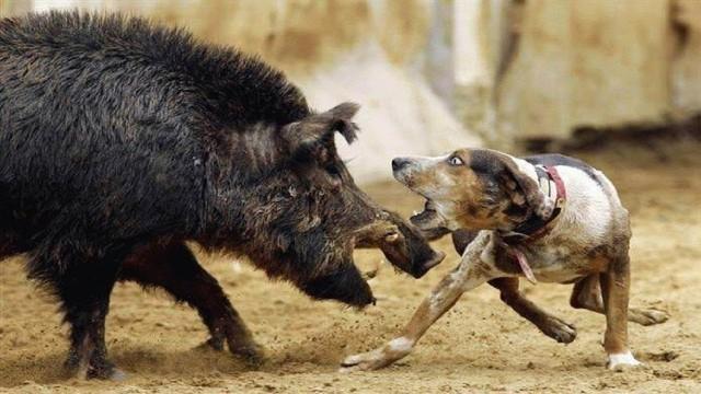 psí smečka vs prase