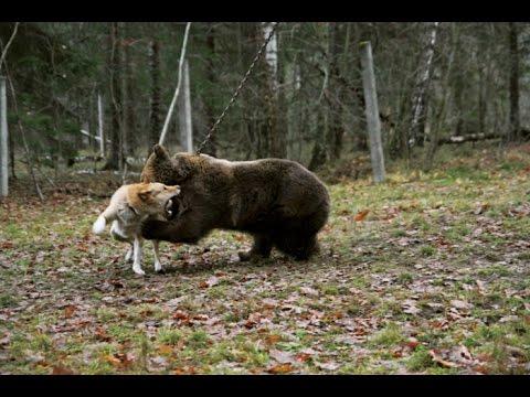 Lov medvěda se psy