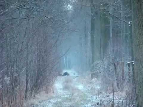 Lov prasat v Polsku