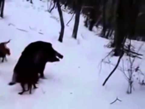 Lov prasete psi Rusku