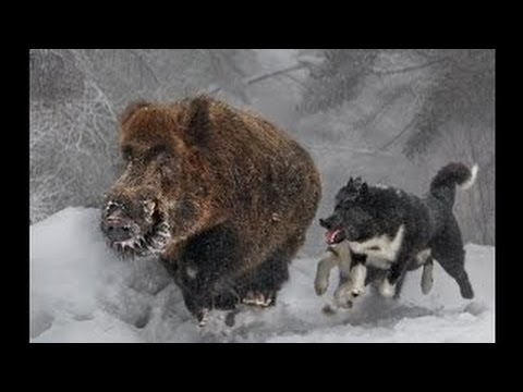 Naháňka na prasata zima 2015