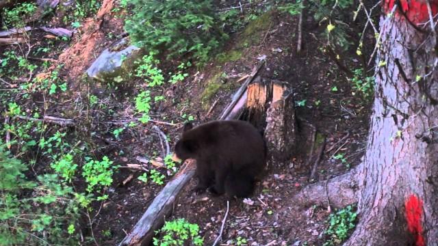 Lov medvěda 2015