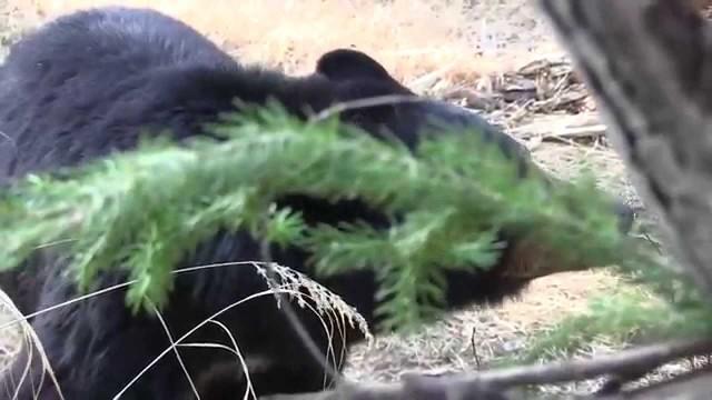 Lov černého medvěda