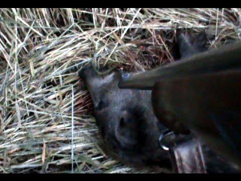 Perfektní rána – lov divočáka