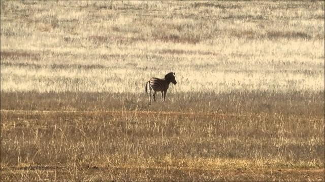 Lov zebry v Africe