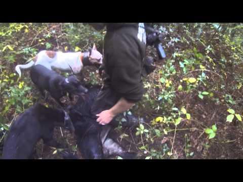 Lov prasat se psi na Novém Zélandu